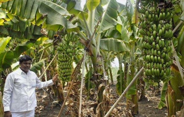 Бананы: польза и противопоказания